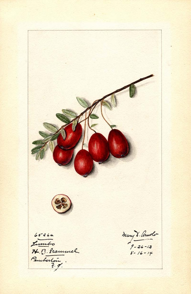 Jumbo cranberries