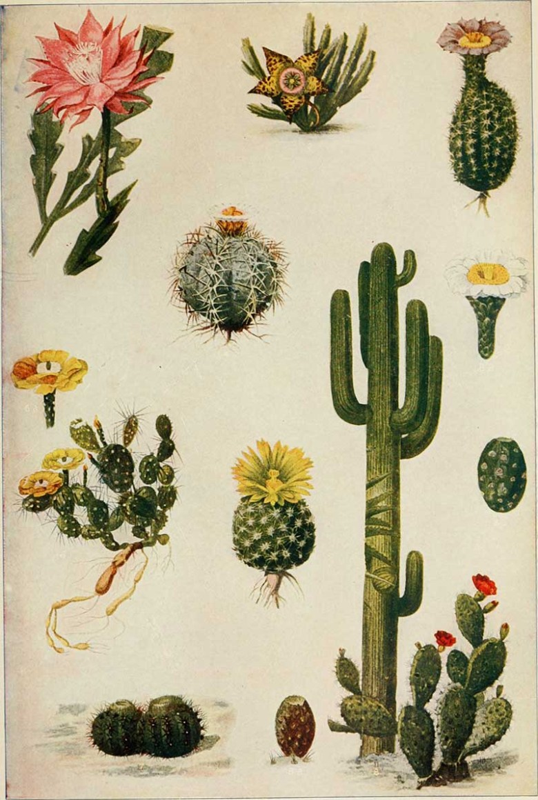 Assorted vintage cacti illustrations 1908