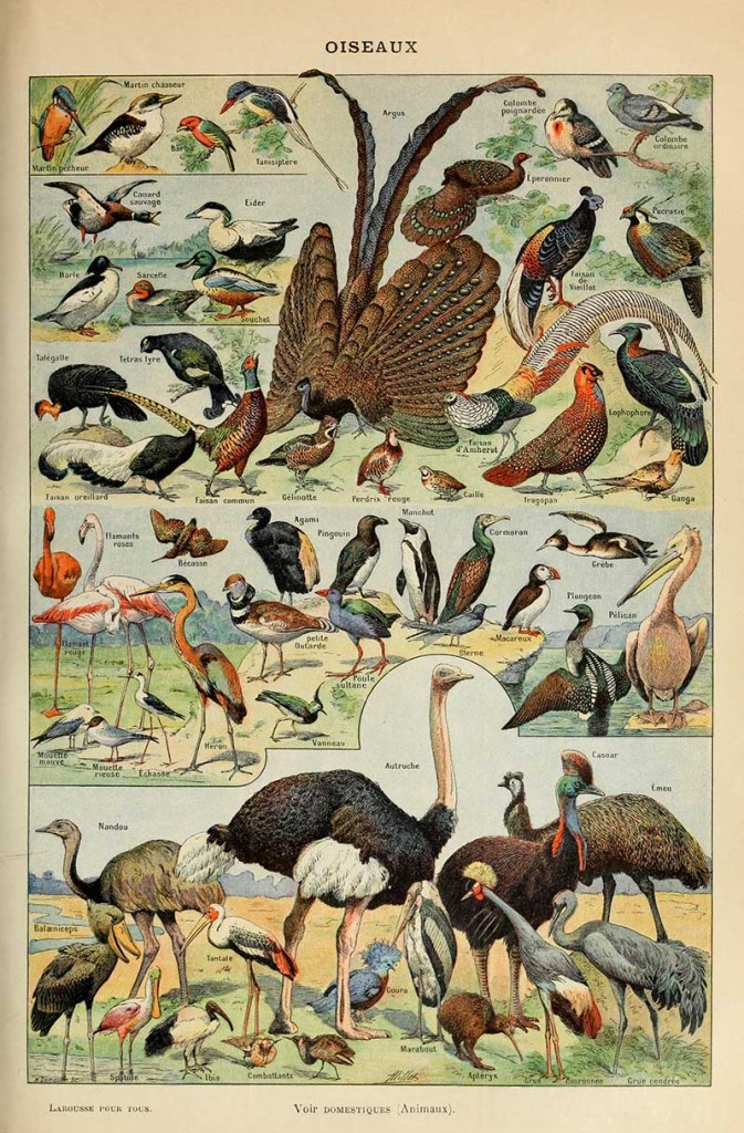 More Adolphe Millot bird illustrations including birds of prey and parrots
