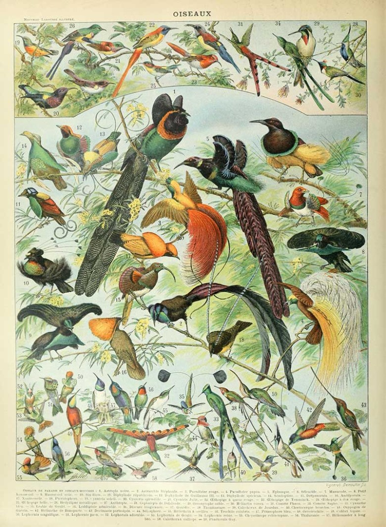 Natural History poster of tropical birds