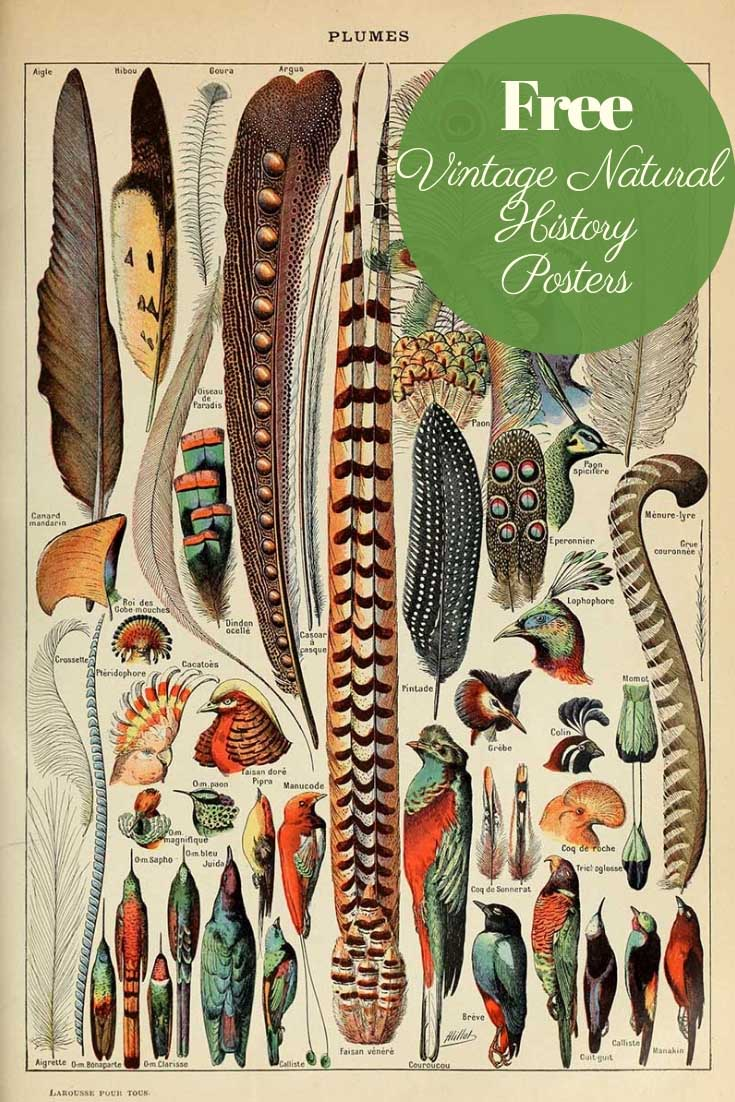 Free vintage natural history posters plumes