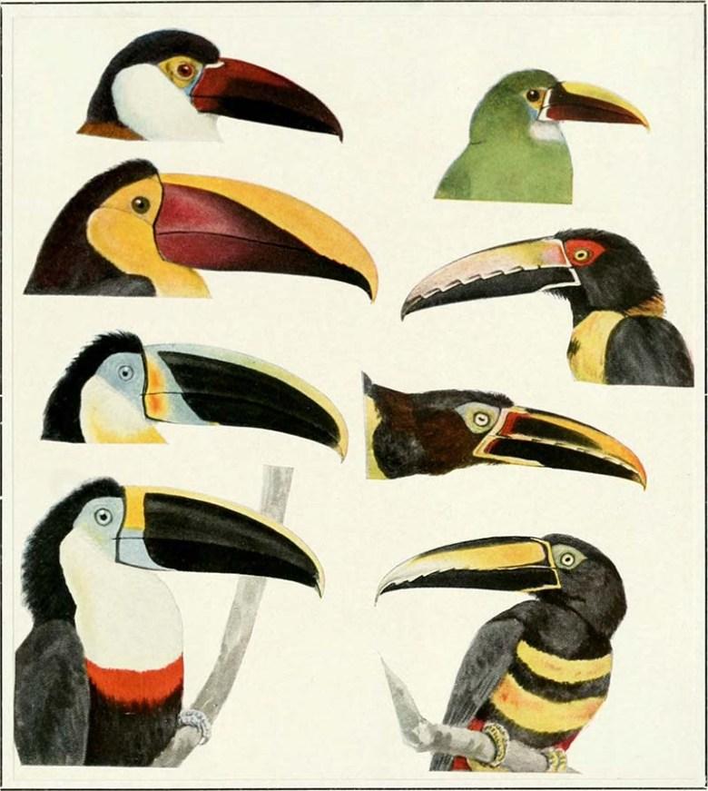 Columbian Toucan Heads -1918