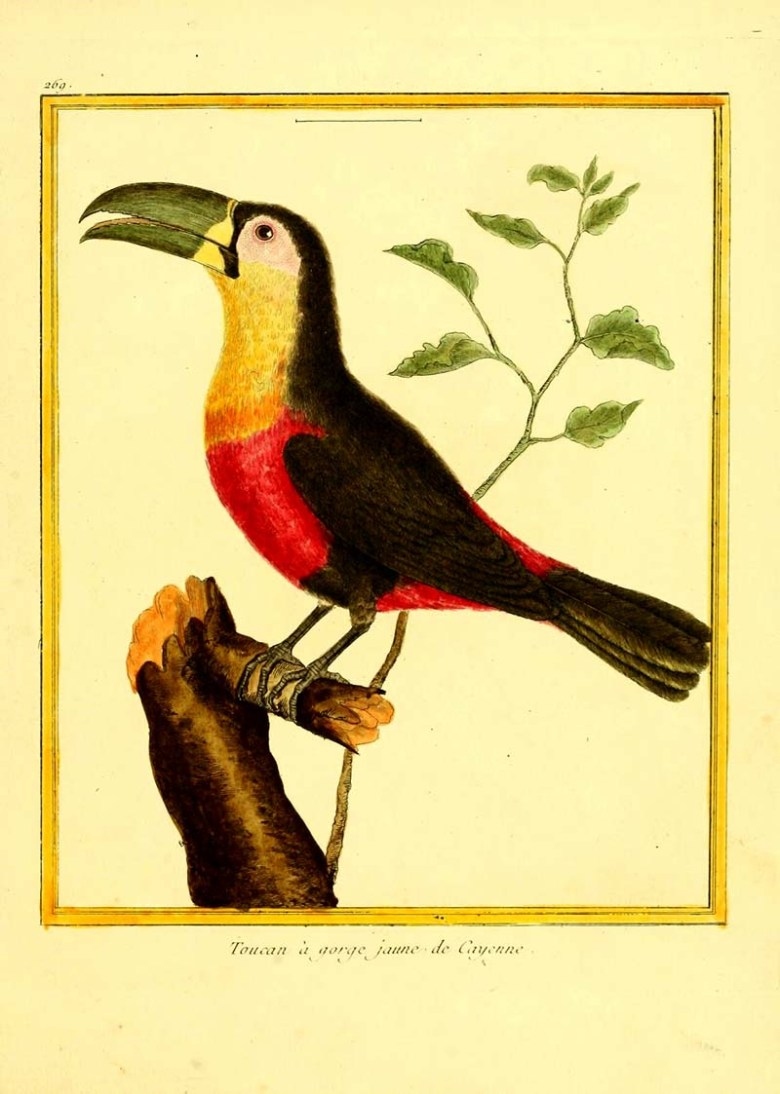 Green billed toucan illustration part of a collection of Toucan paintings.
