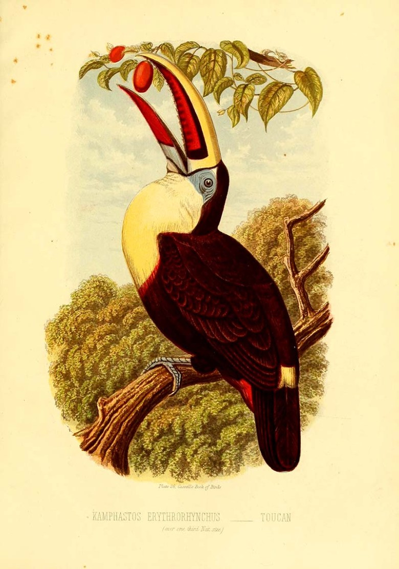 Red billed toucan painting