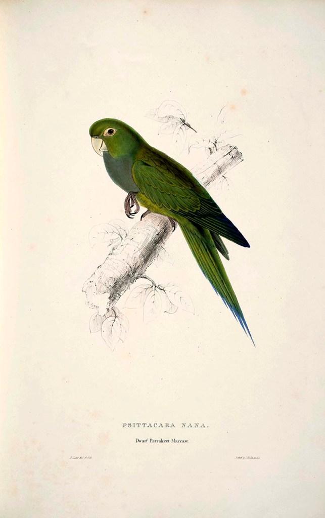 Dwarf Parrakeet Maccaw by Edward Lear 1832 s