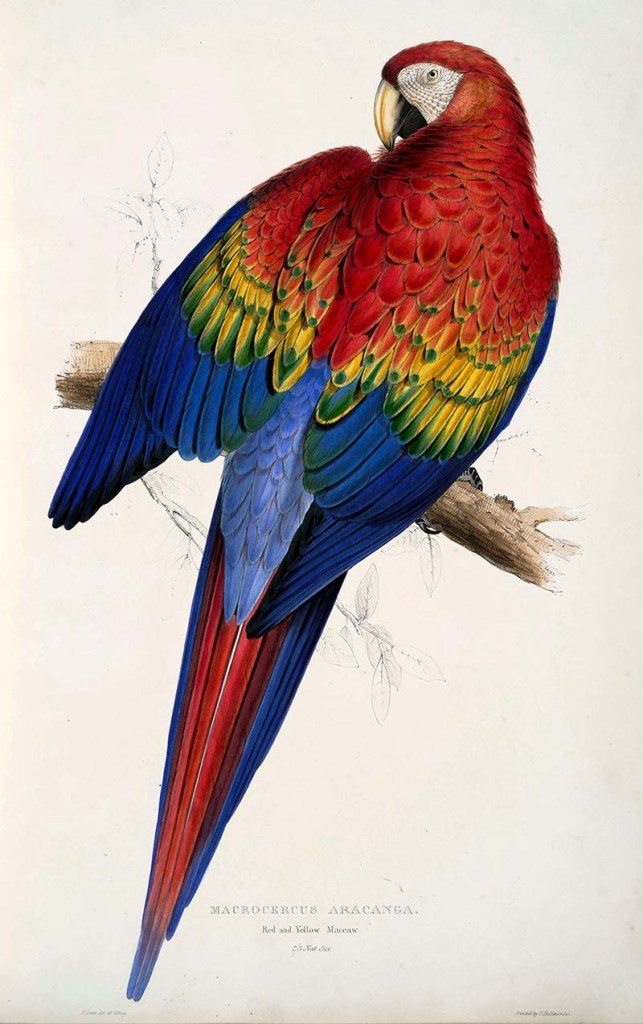 Scarlet Macaw - free parrot paintings