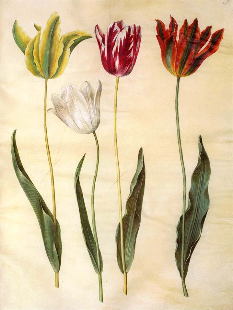 1650@s garden tulip watercolor