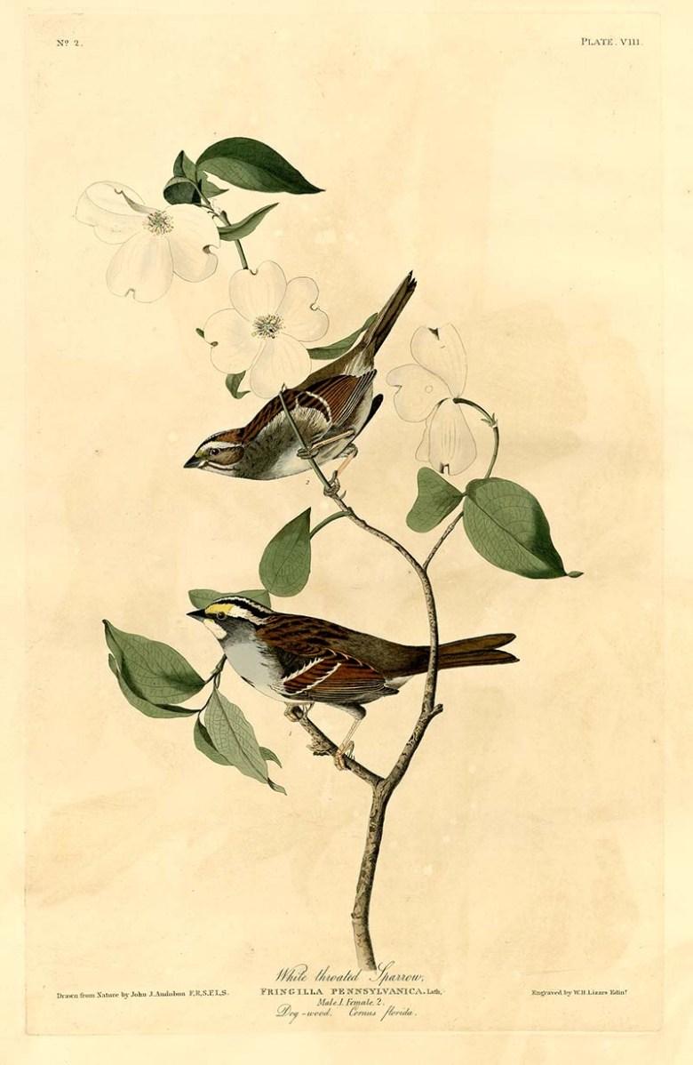 Audubon White-Throated Sparrow