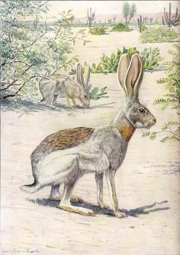 Antelope Jack Rabbit