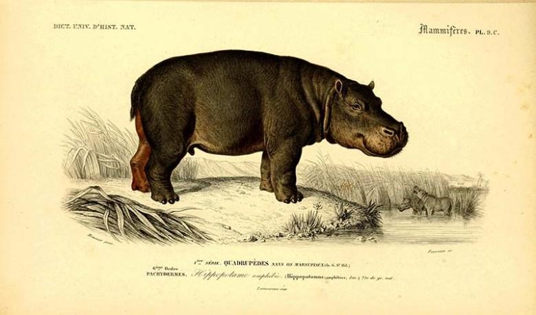 Hippopotamus illustration