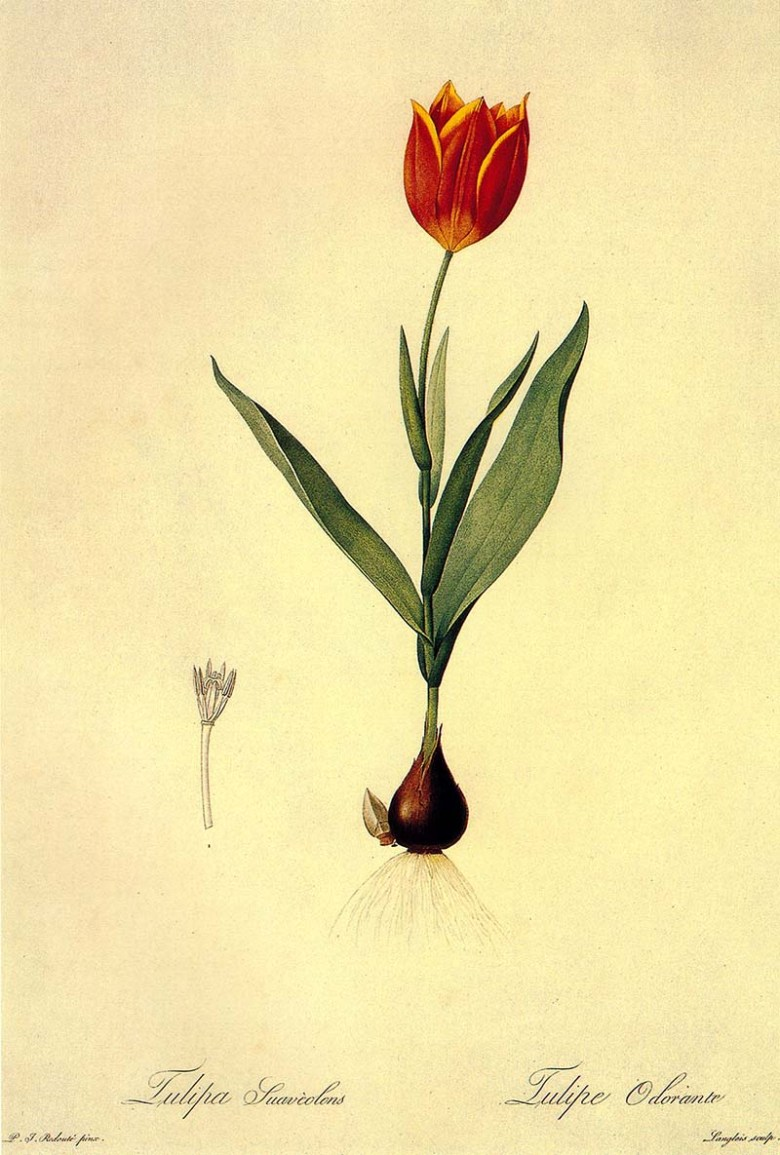 free tulip paintings