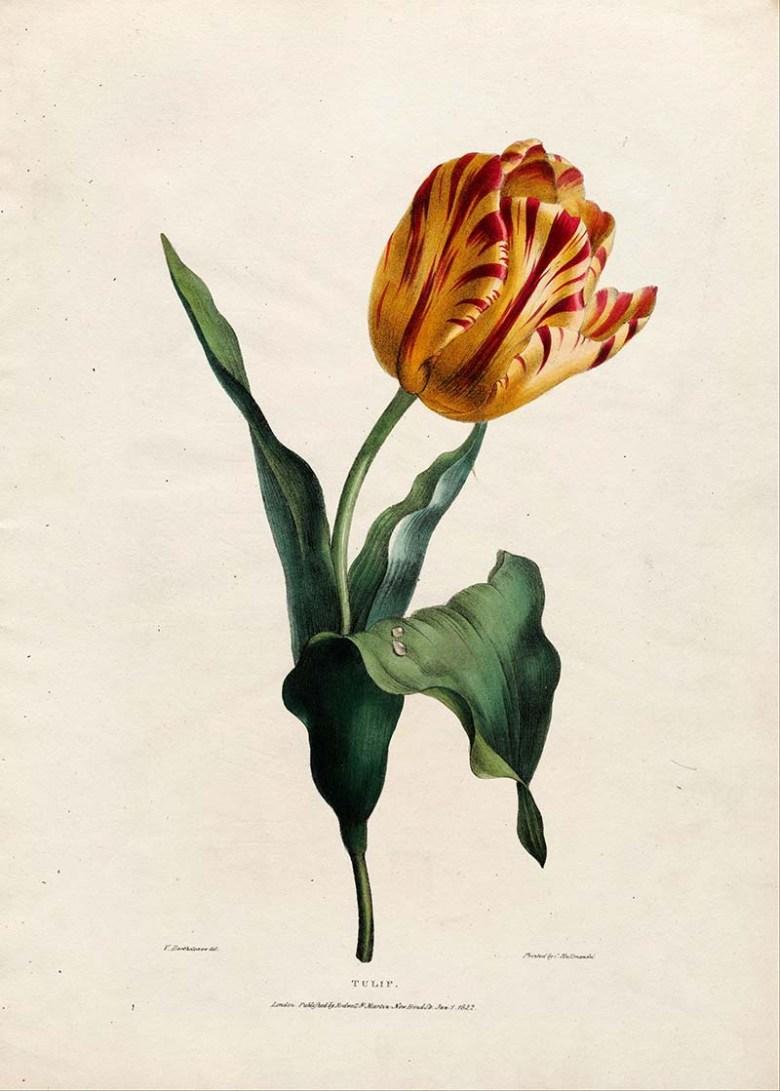 tulip 1822