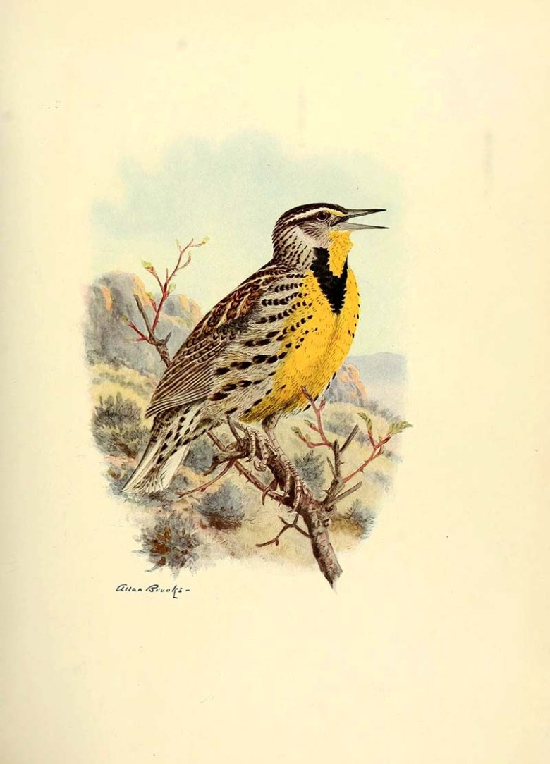 Western Medowlark print