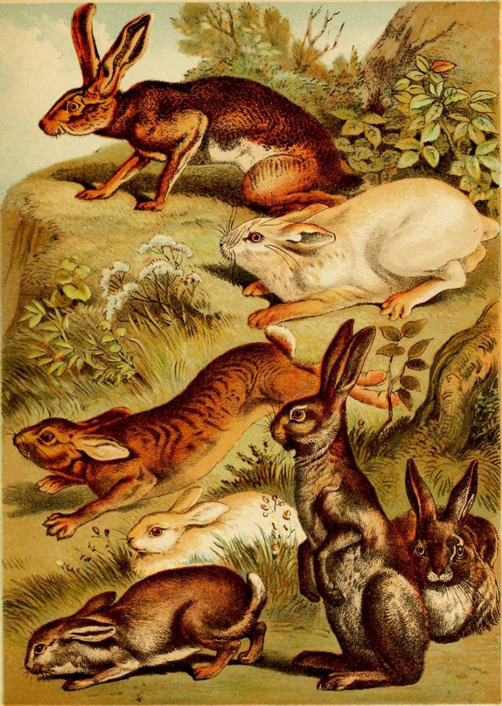 Natural History posters of rabbits and hares