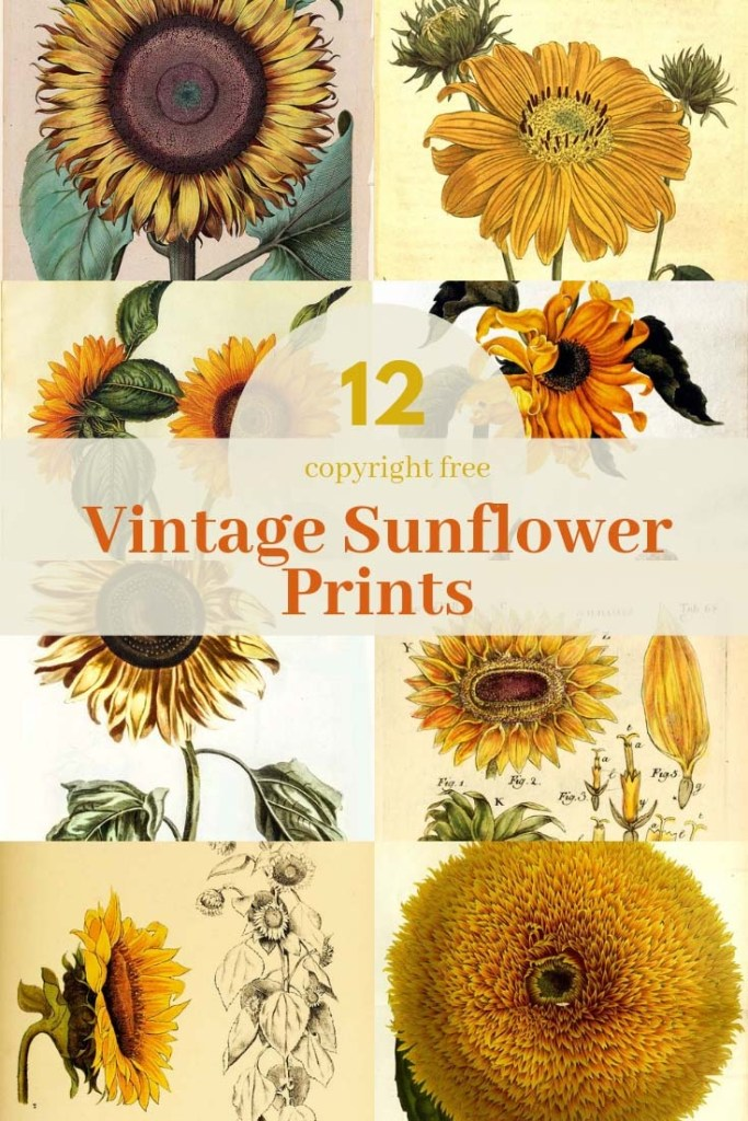 12 vintage sunflower drawings to download
