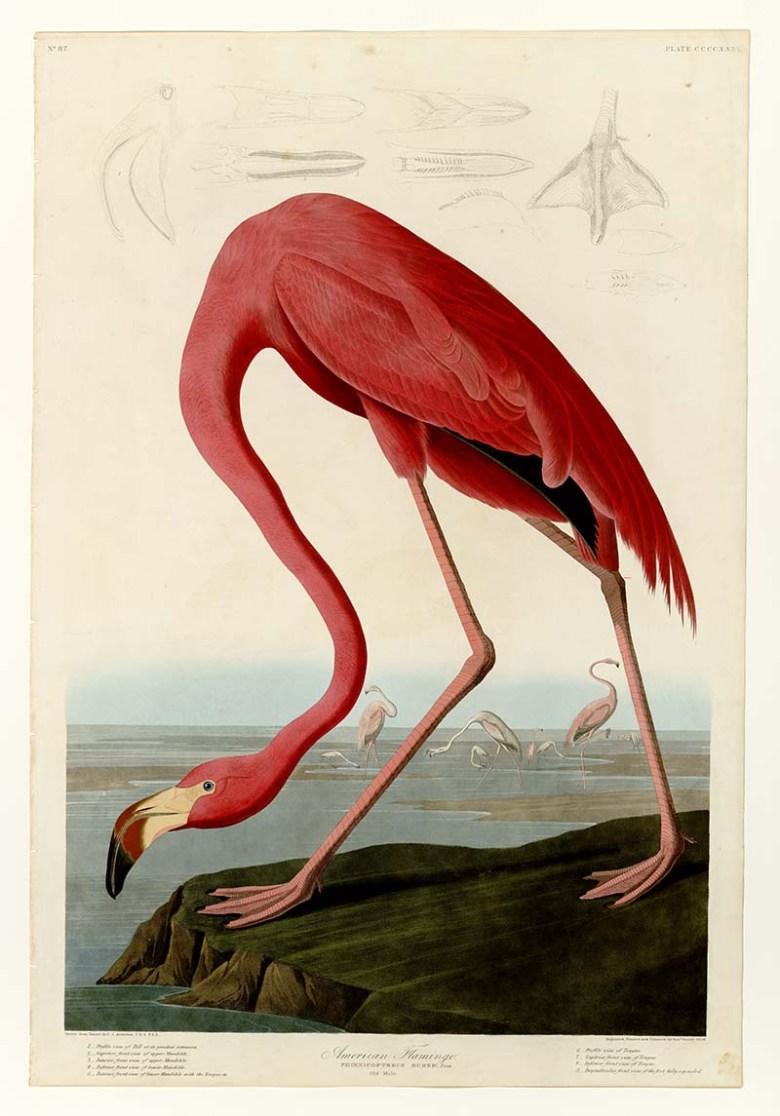 Audubon American Flamingo Art Prints