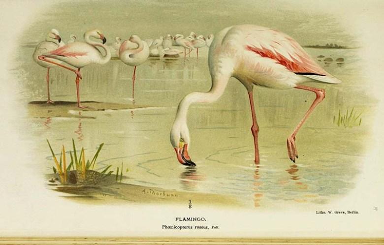 Vintage flamingo art prints greater flamingo