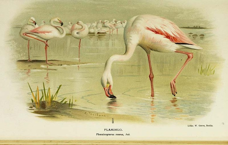 Vintage flamingo art prints greater flamingo