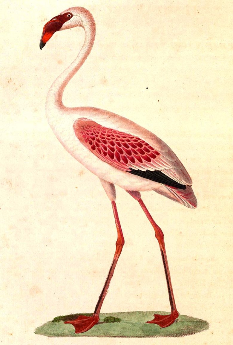 Vintage flamingo painting lesser flamingo