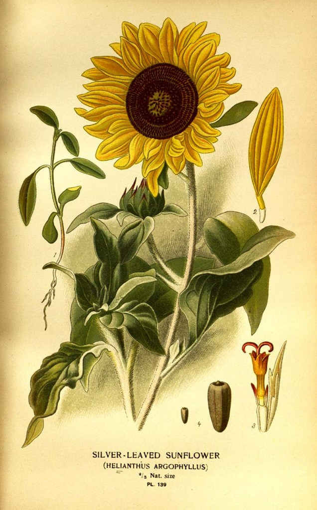 Silver leaved sunflower