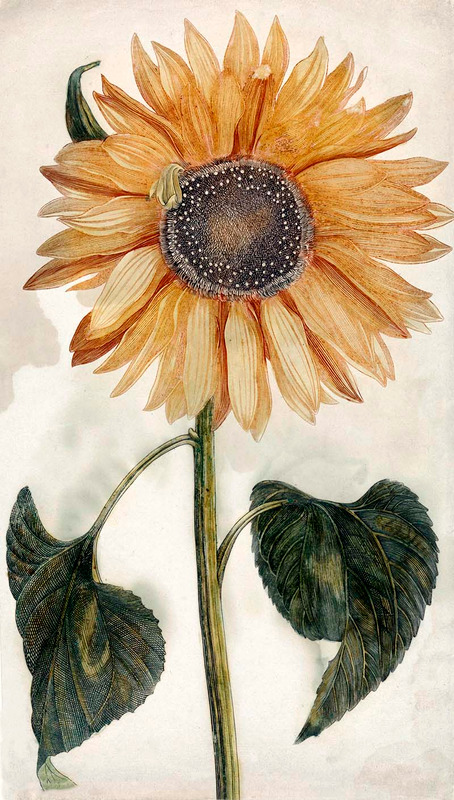 Free Botanical Sunflower Drawings to Download & Print