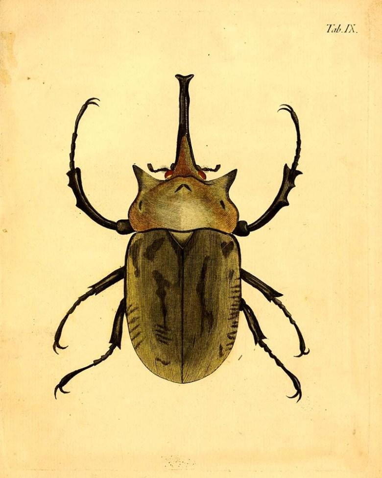Vintage beetle illustration