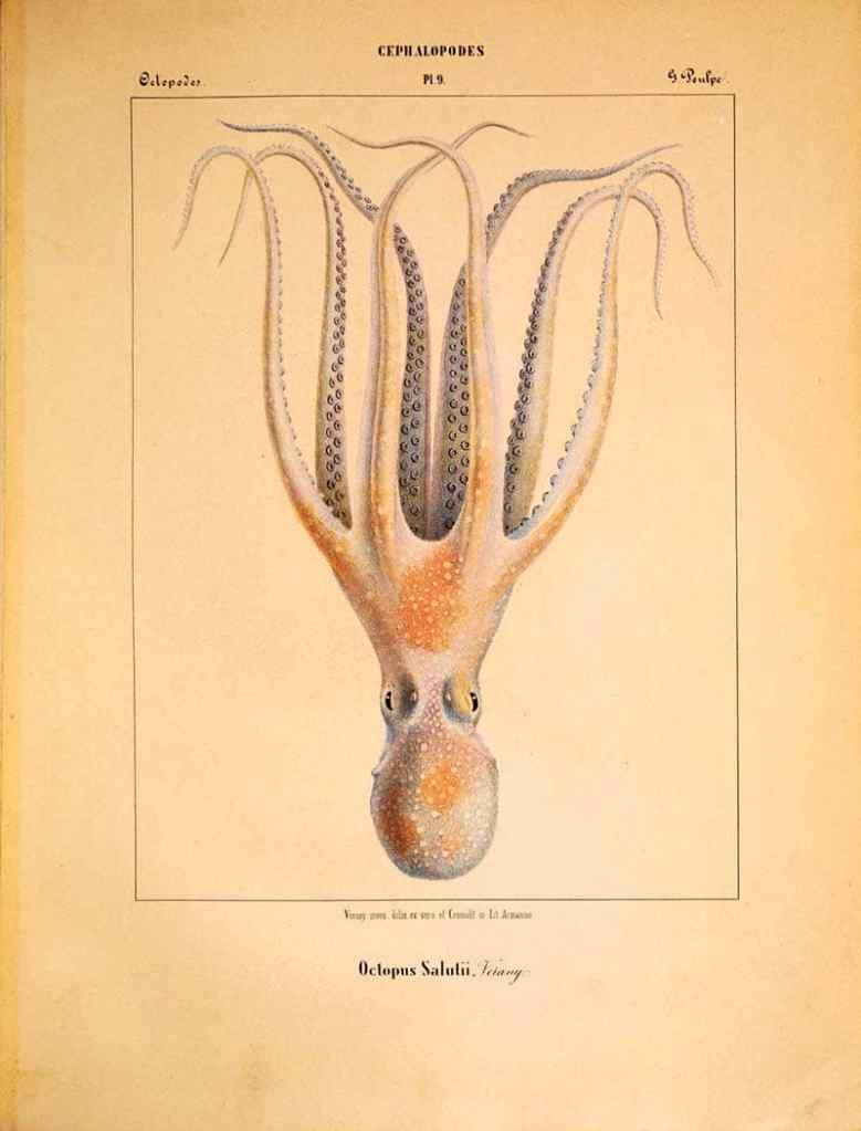 Octopus saluttii illustration
