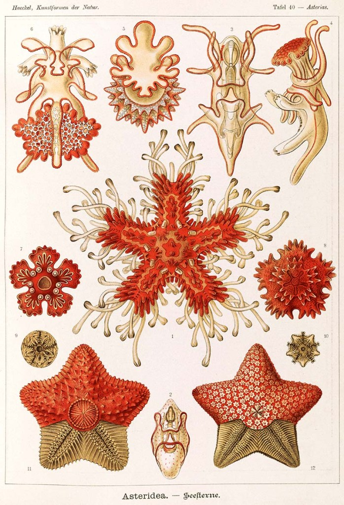 Asteridea - Starfish