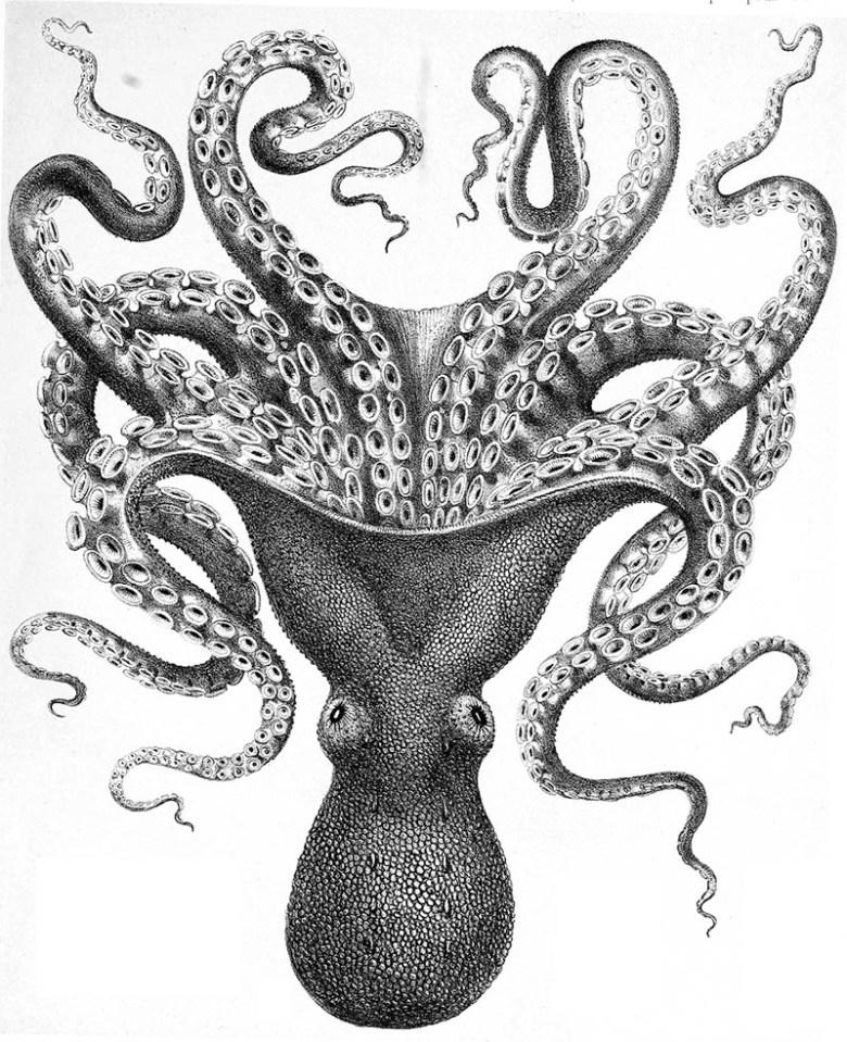 Octopus Verrucosus