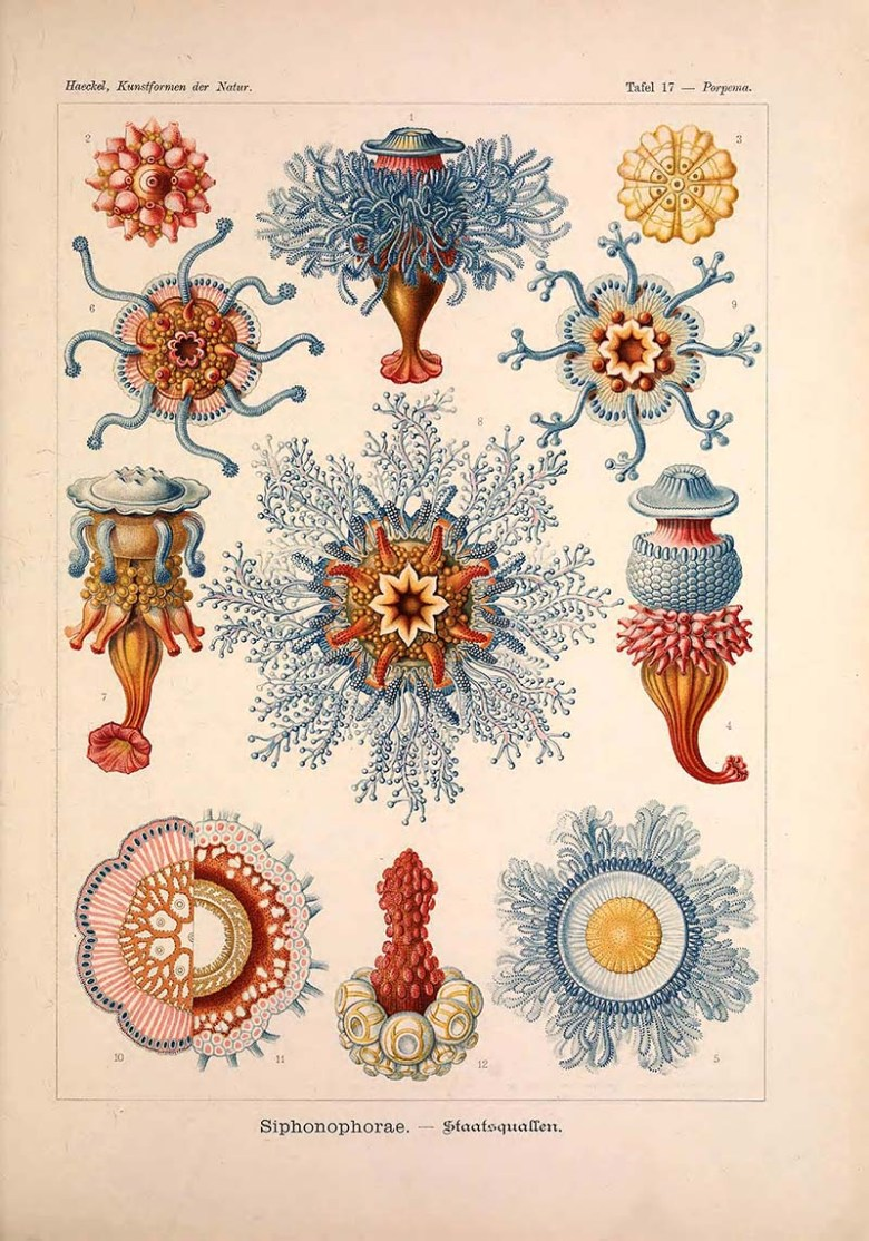 Siphonophorae Ernst Haeckel prints
