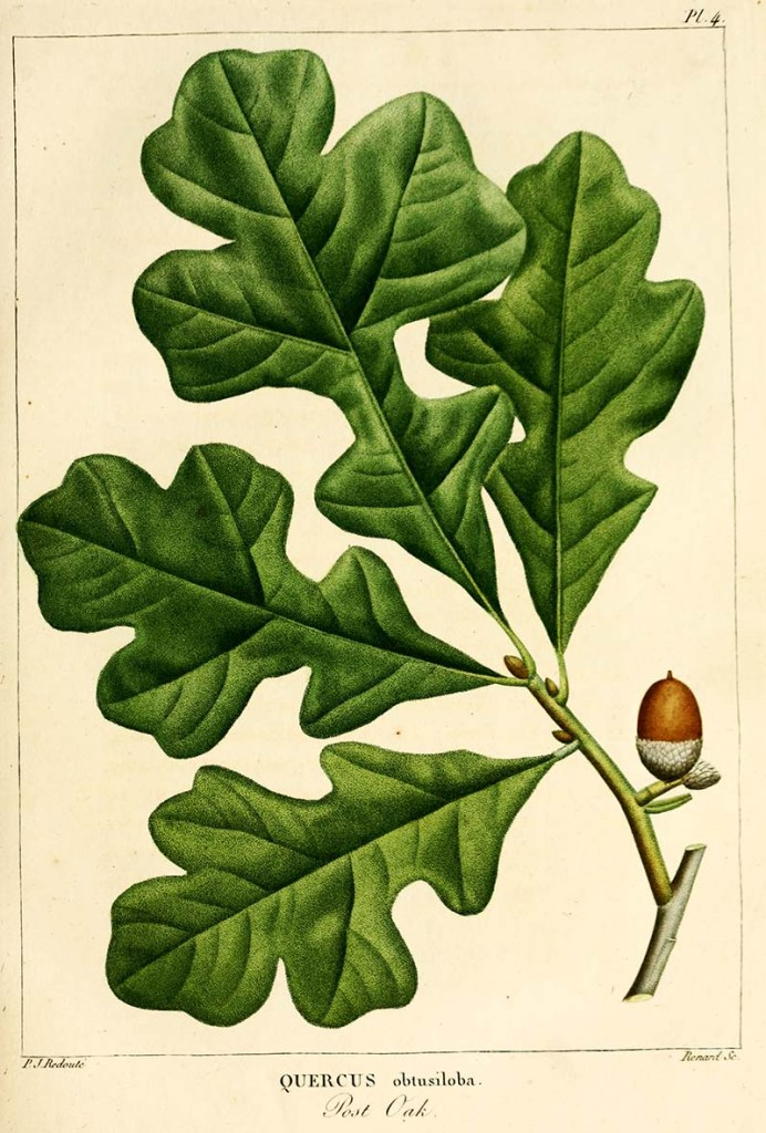 Post Oak Botanical leaf print