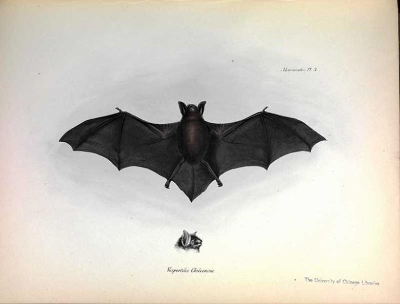Darwin bat drawing