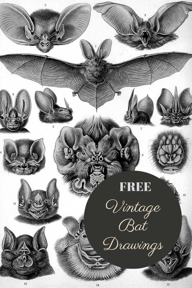 Vintage bat drawings pin2
