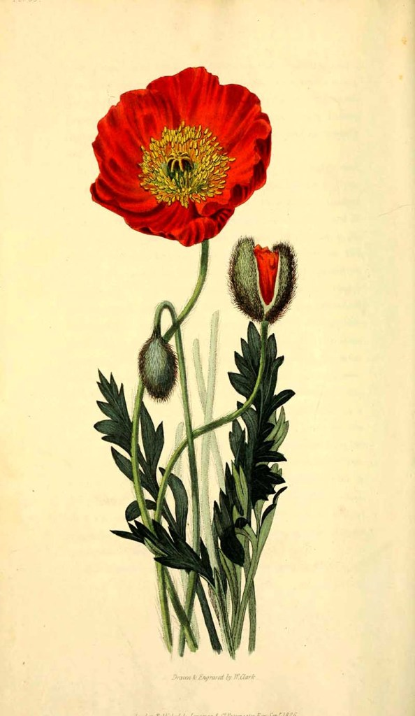 Iceland Poppy