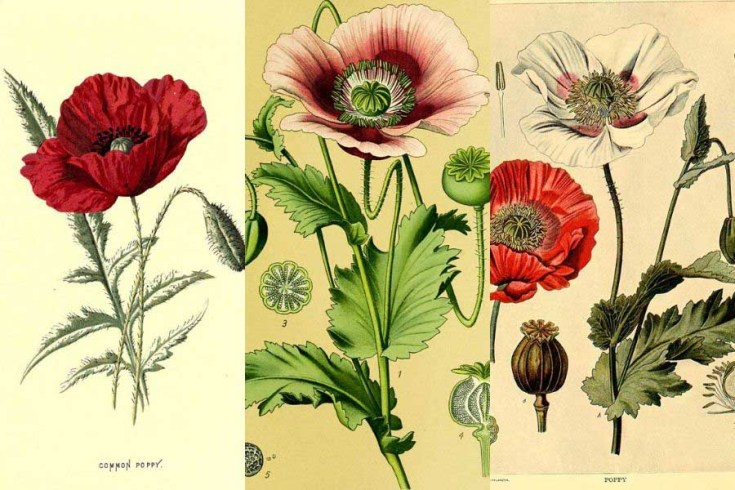 Free Vintage Pictures Of Poppies To Download
