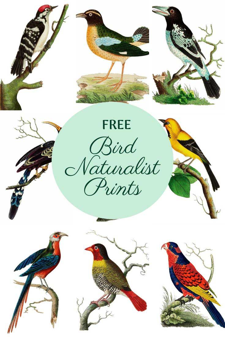 Vintage bird naturalist prints