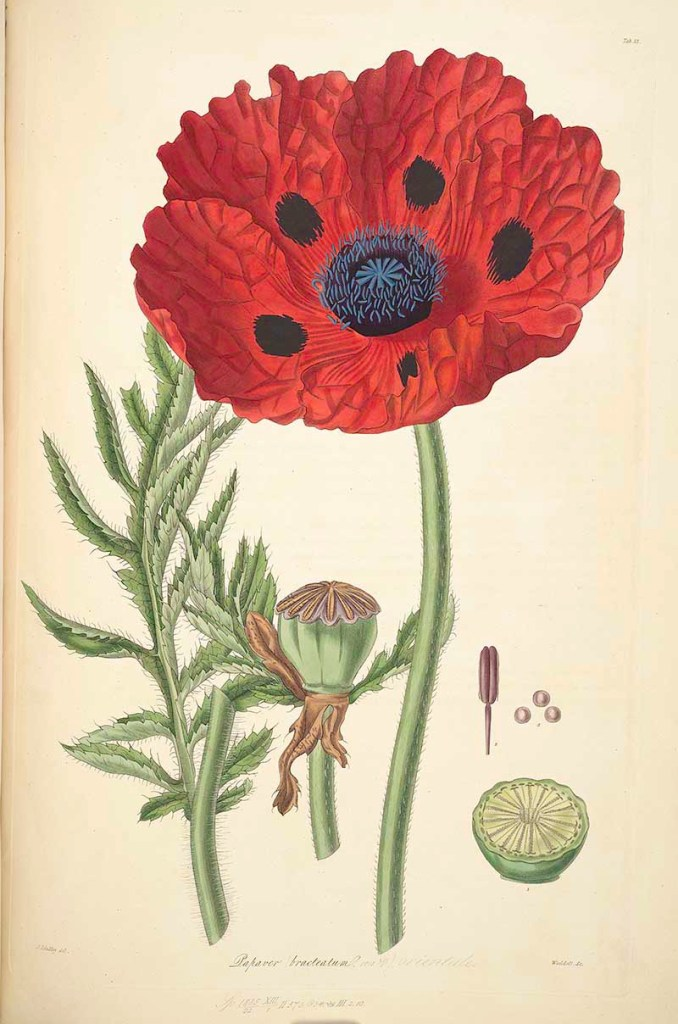 Great scarlet poppy picture