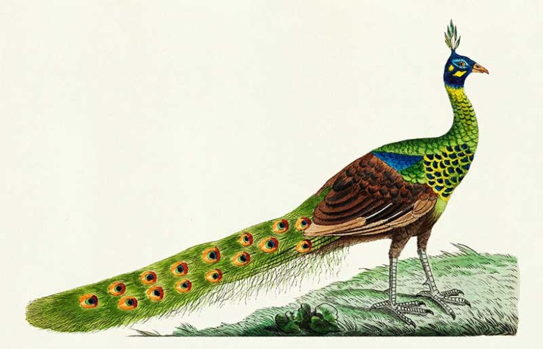 Spike-crested peacock illustration from The Naturalist's Mis