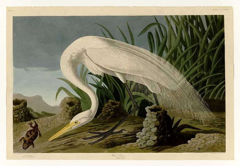 Great White heron Audubon