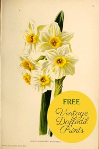 vintage daffodil flower paintings