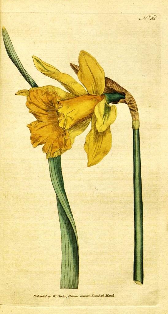 Spanish Daffodil