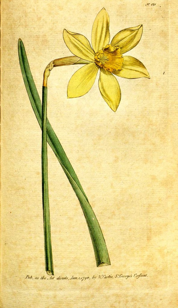 Yellow daffodil drawing