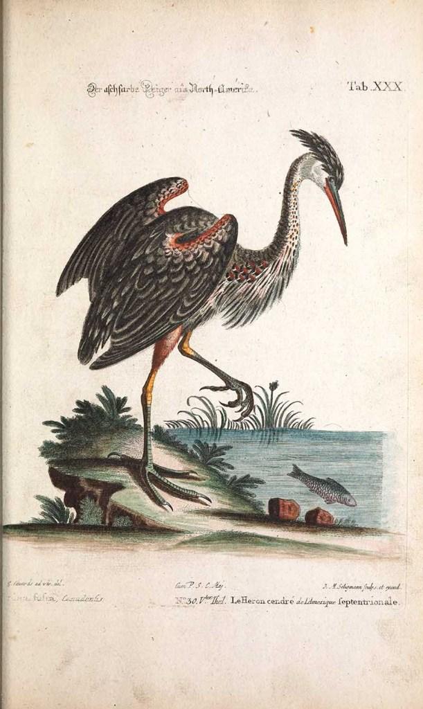 fishing grey heron