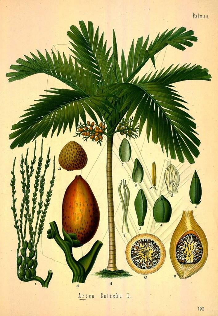 Areca Palm Print
