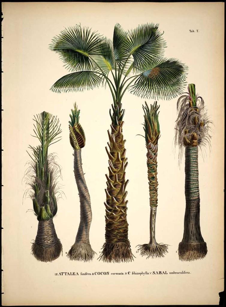 Palm tree illustration by Carl Philipp von Martius