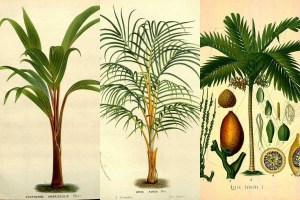 Free-Printable-palm-tree-illustrations