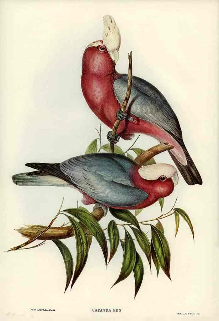 Free prints of Galah's