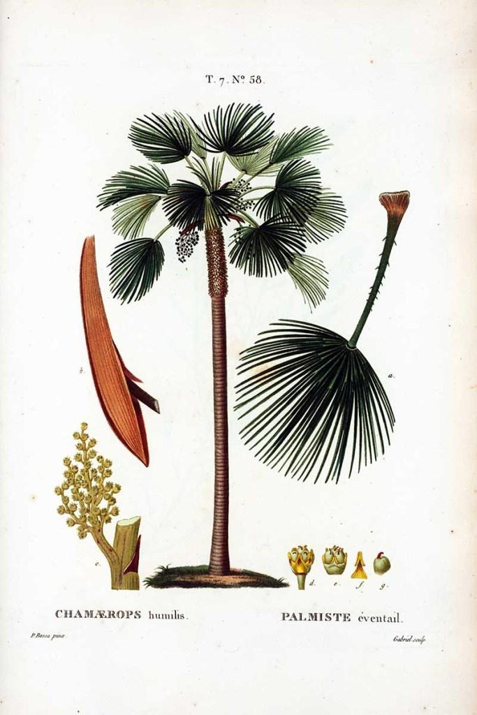 European Fan Palm Botanical Illustration