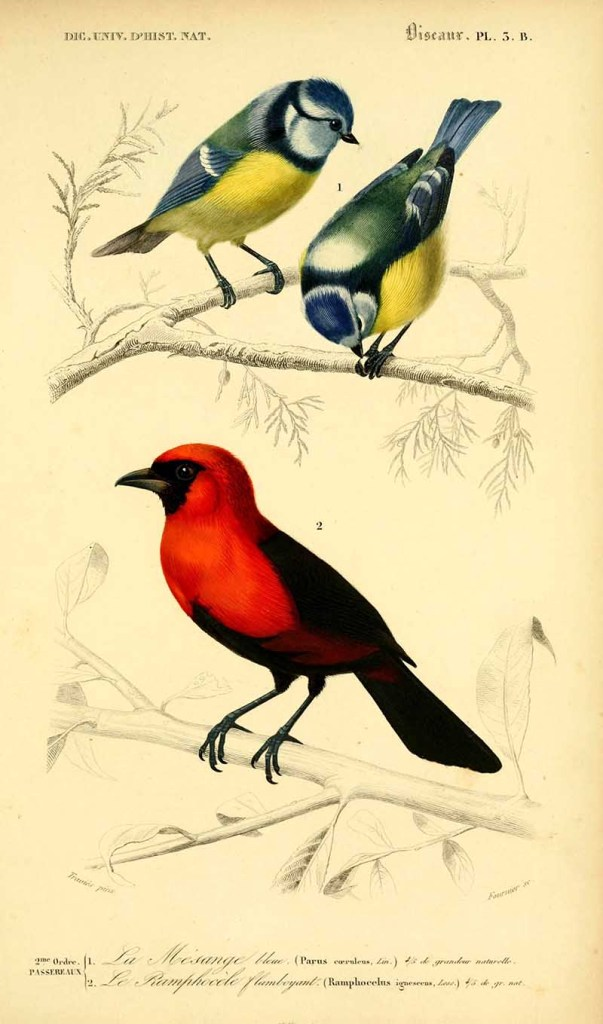 Blue tits and masked crimson tanager