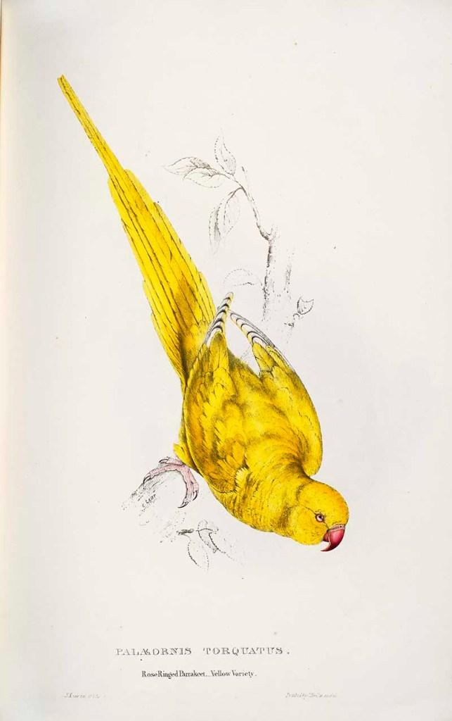 Rose ringed parakeet yellow variety